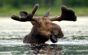 MOOSE%20IN%20WATER